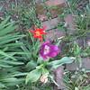 04-17-16 Dayton 01 tulips