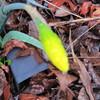 03-10-16 Dayton 01 daffodil