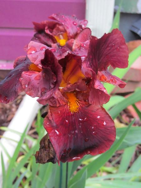 05-21-16 Dayton 04 iris