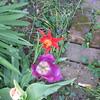 04-17-16 Dayton 03 tulips