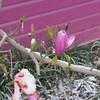 04-09-16 Dayton 04 snow magnolia