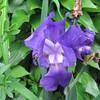 05-21-16 Dayton 02 iris