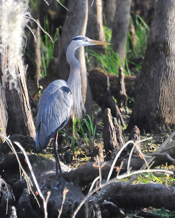 Blue Heron Boat Tour