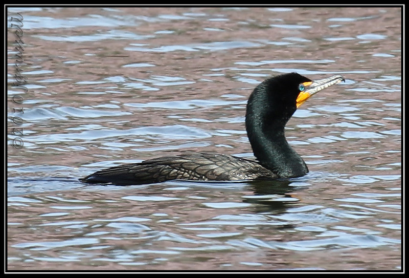 Double-crested cormorant<br /> Branchbrook Park