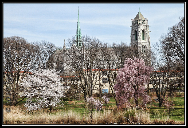 Cherry blossom time<br /> Cathedral of Sacred Heart<br /> Branchbrook Park