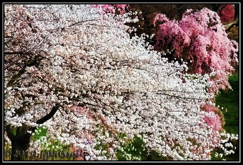 Cherry blossom time<br /> Branchbrook Park
