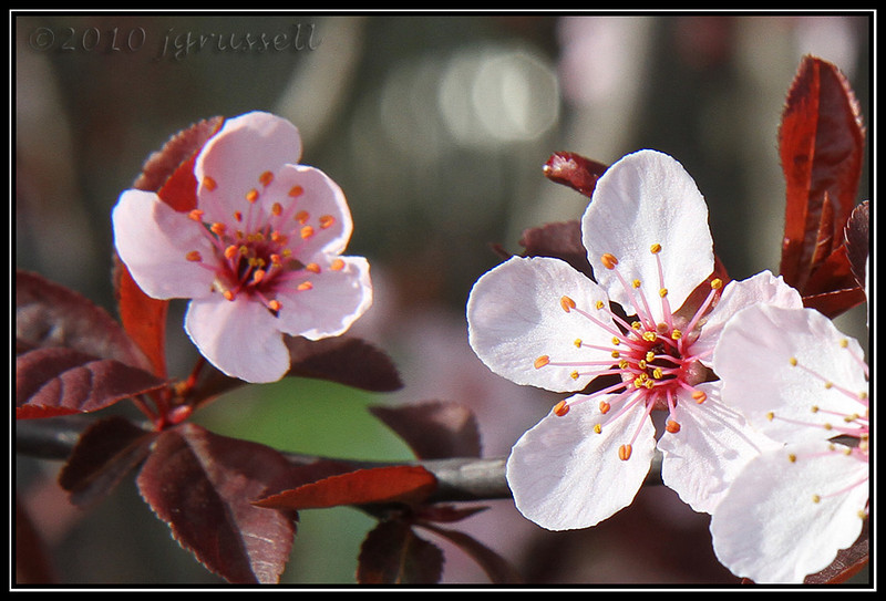 My own cherry tree blooming