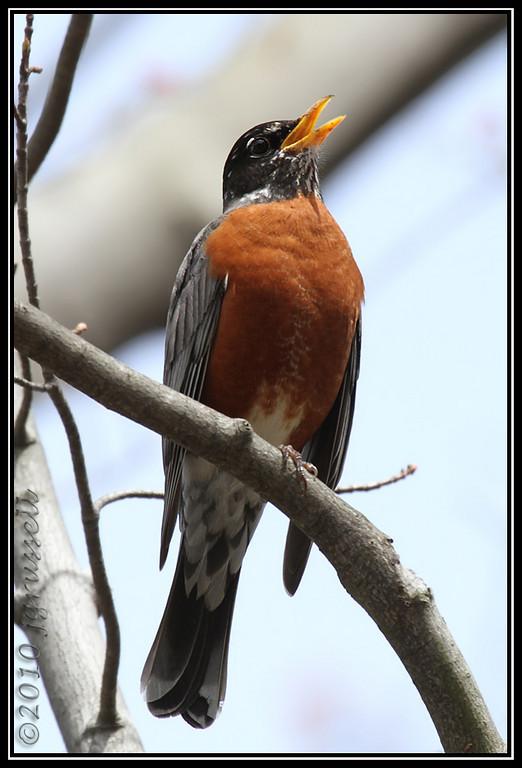 Robin song<br /> Garret Mountain