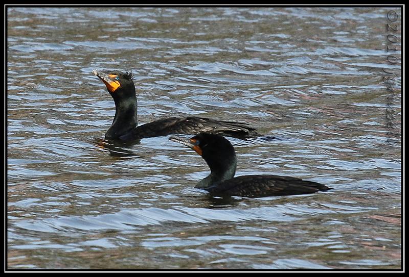 Double-crested cormorants<br /> Branchbrook Park
