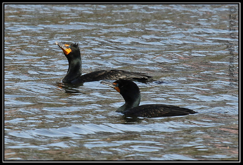 Double-crested cormorants<br /> Branchbrook Park