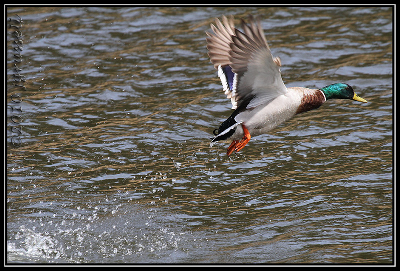 Mallard take off<br /> Garret Mountain
