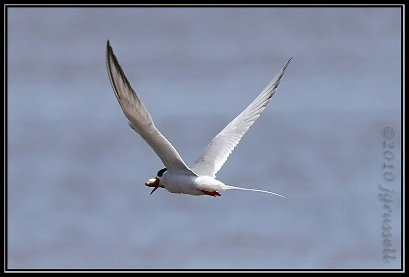 Forster's tern with lunch