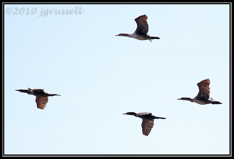 Cormorant flight formation