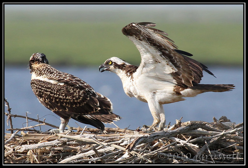 Osprey and nestling