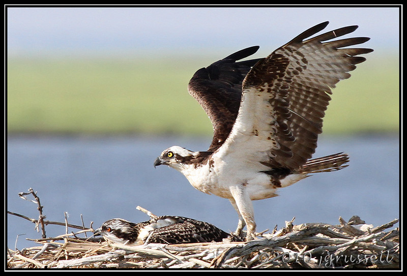 Osprey with nestling