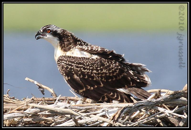 Osprey nestling