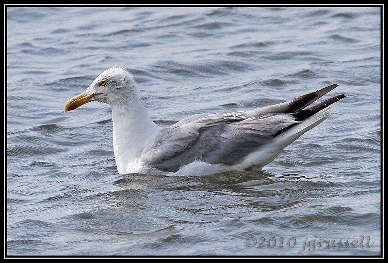 Herring gull (I think!)