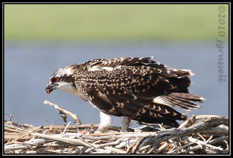 Osprey nestling feeding