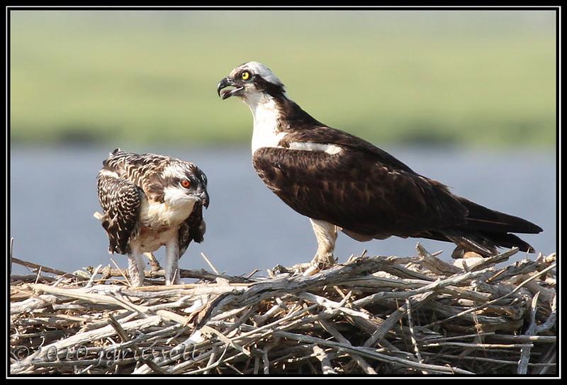 Osprey and nestling