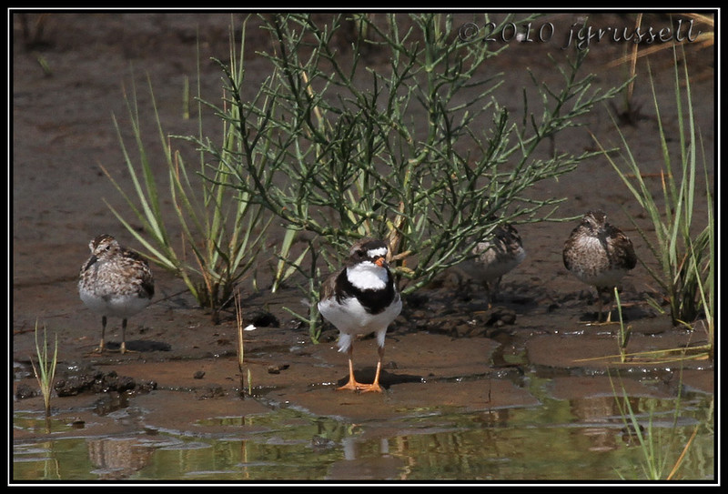 Semipalmated plover and friends