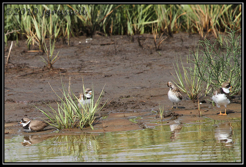 Semipalmated plovers and friend