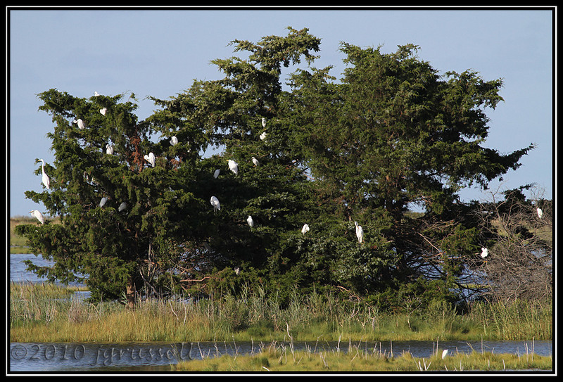 The egret tree!