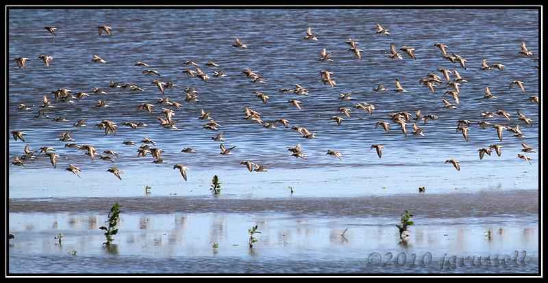Shorebirds in motion