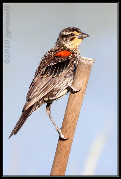Juvenile red-winged blackbird (male)
