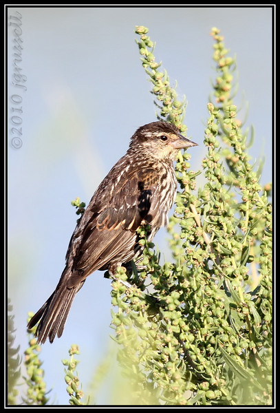Juvenile red-winged blackbird (female)