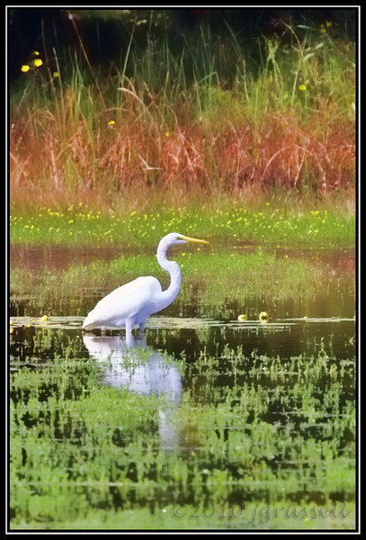 "Great egret ""painting"""
