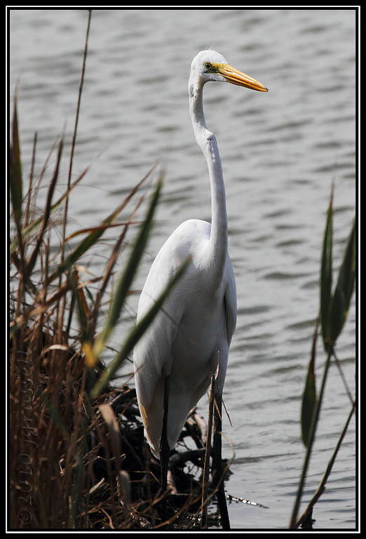 Great egret in the reeds