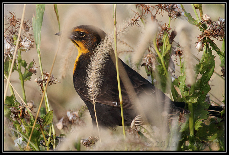 Female yellow-headed blackbird
