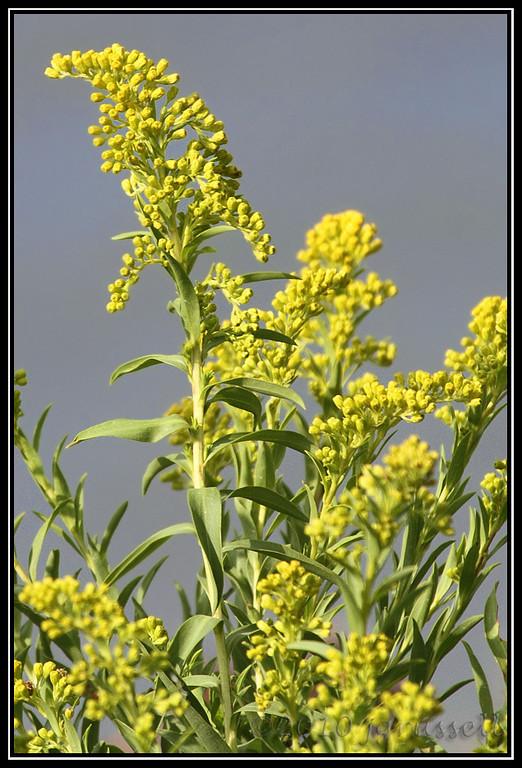 A marsh flower