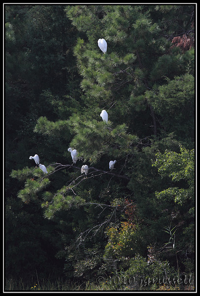 Another egret tree