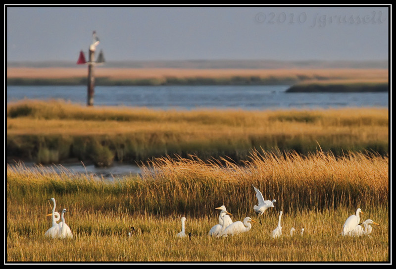 Great egrets in the marsh