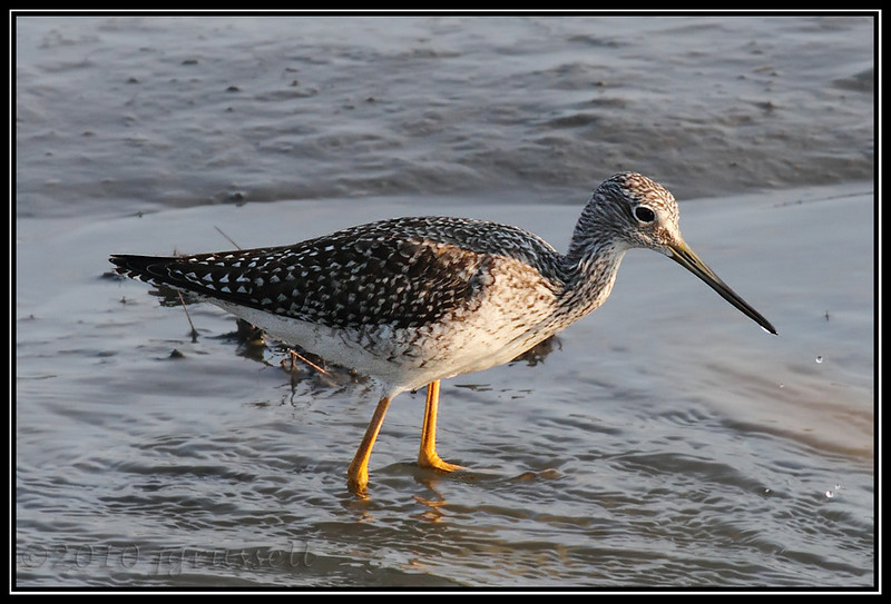 Greater yellow-legs