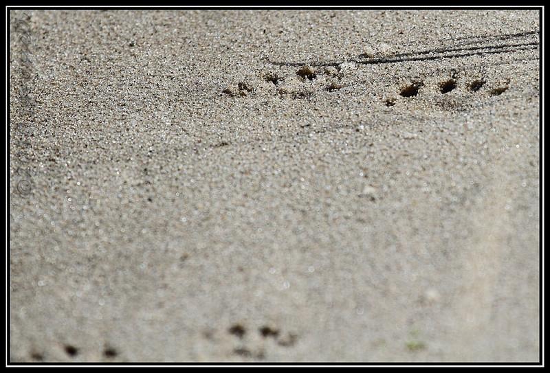 Critter tracks!