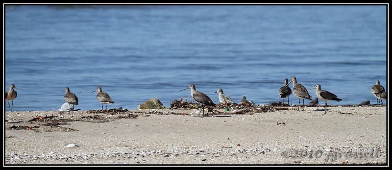 Hudsonian godwits and friend