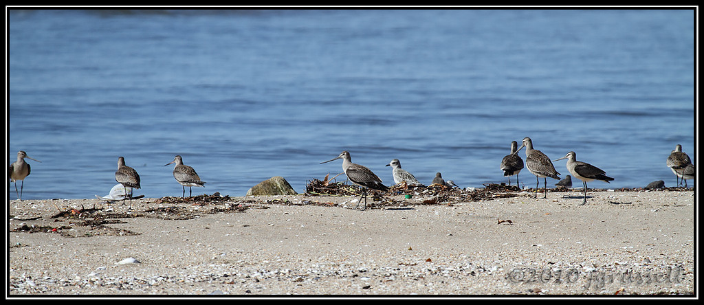 Hudsonian godwits and friend