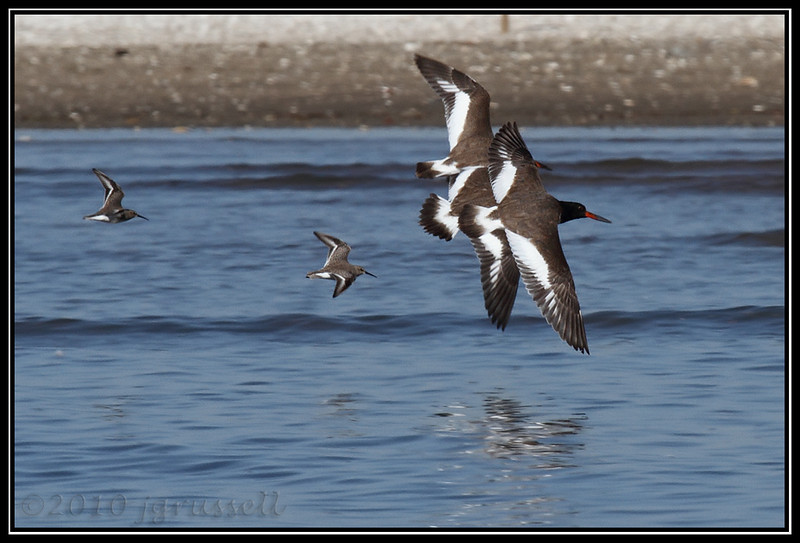 Oystercatchers and their groupies
