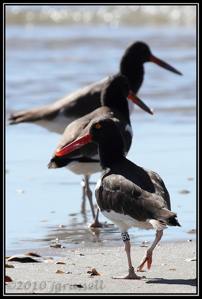 Banded oystercatcher<br /> Band = SC