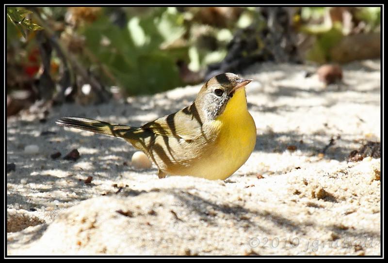 Juvenile male common yellowthroat