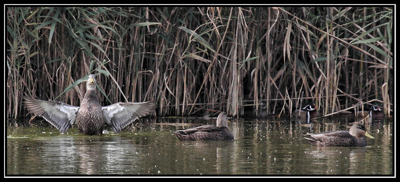 American black ducks<br /> (wood ducks hiding in reeds)