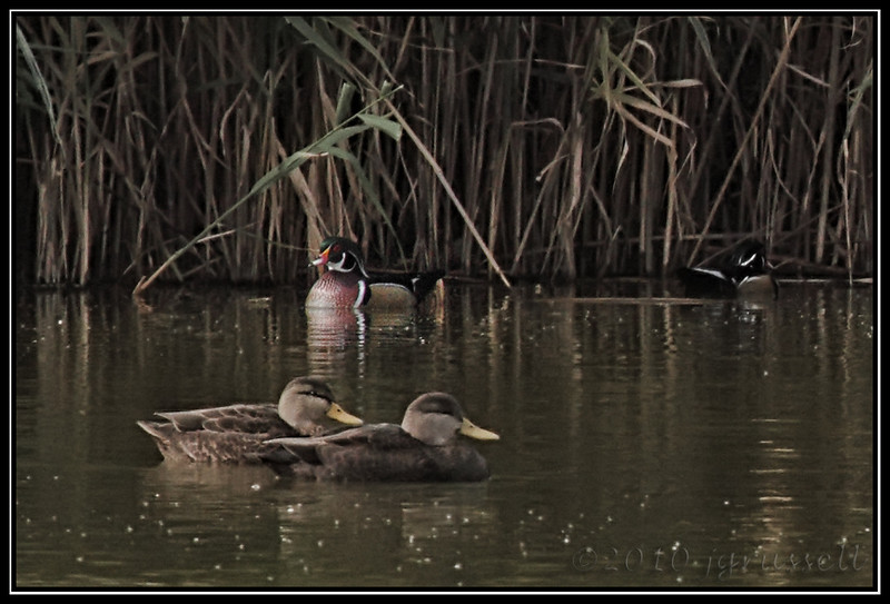 Wood ducks <br /> (American black ducks in foreground)