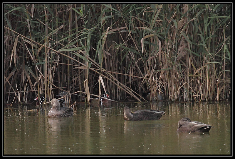 Wood ducks in reeds<br /> (American black ducks in foreground)