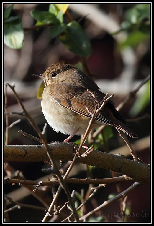 Hermit thrush