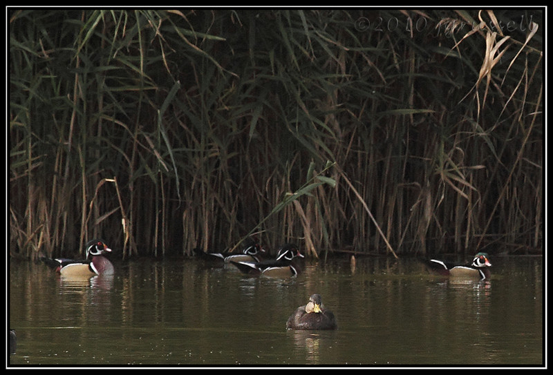 Wood ducks <br /> (American black duck in foreground)