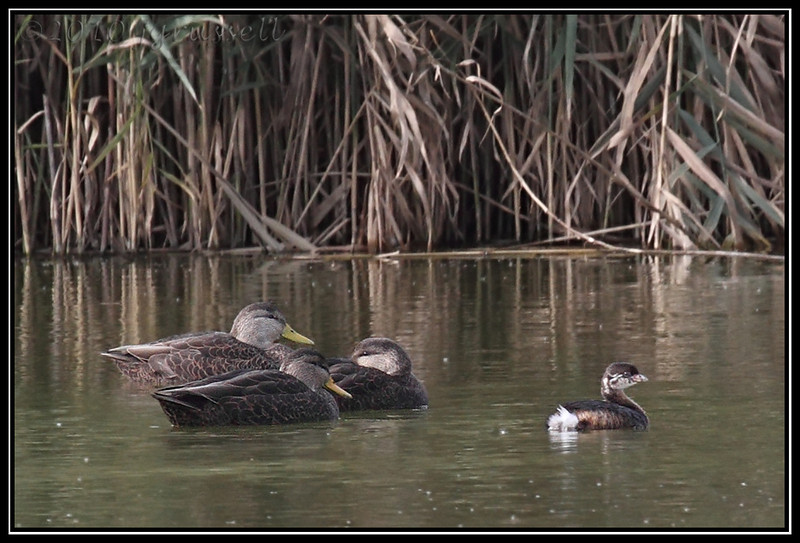 American black ducks and pied-billed grebe