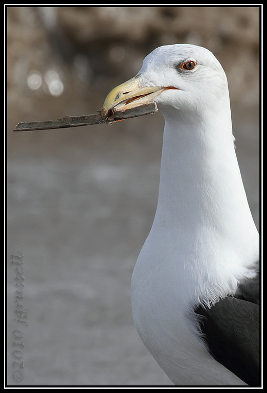 Stick-y situation for<br /> great black-backed gull