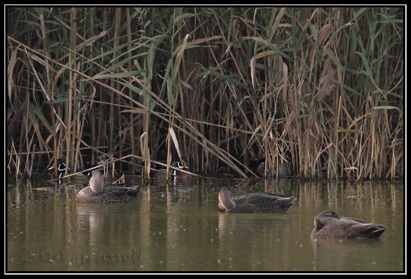 Wood ducks in the reeds<br /> (American black ducks in foreground)